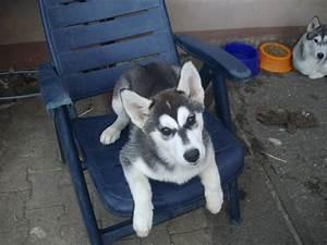 Husky Zu Verkaufen : husky welpe zu verkaufen husky ~ Orissabook.com Haus und Dekorationen