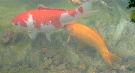 plantes pour chambre le frai des poissons rouges