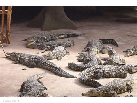 alligator bay reptilarium du mont michel notrebellefrance