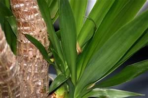Yucca Palme Winterhart : yucca palme pflege yucca palme pflege ~ Frokenaadalensverden.com Haus und Dekorationen