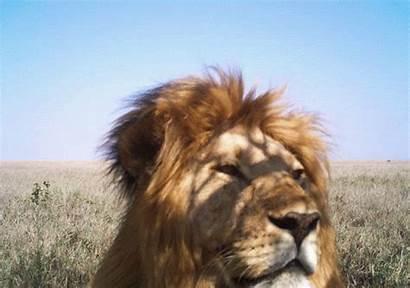 Lion Animated Animal Animals Gifs Wild Camera