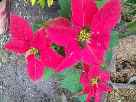 abkan kastuba tanaman hias daun merah hijau