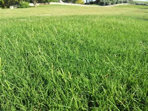 lawn grass scientific name top 28 lawn grass scientific name lawn mowers 187 blog archive turf type perennial ryegrass