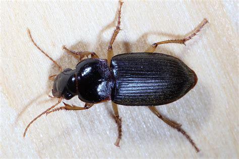 großer schwarzer käfer im haus k 228 fer im holz ist der k fer ein sch dling tiere kaefer