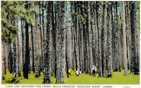 Longleaf Pine Flooring Louisiana by Genealogy Mcclendons And Mclendons At Rootsweb