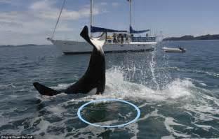 Orca Killer Whale Eating Shark