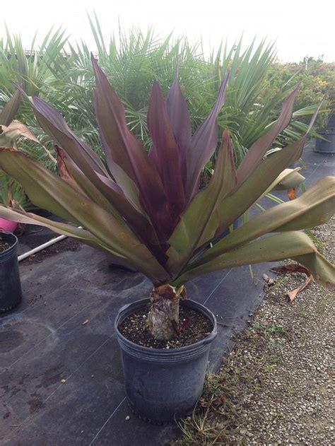 crinum augustum queen emma sangria crinum lily plant