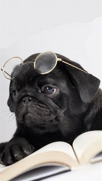 Pug Iphone Puppy Wallpapers Puppies Funny Pugs