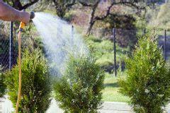 thuja stark zurückschneiden thuja gie 223 en 187 wie viel wasser braucht der lebensbaum