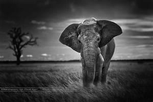 Elephant Black And White Background Wallpaper 07881 - Baltana