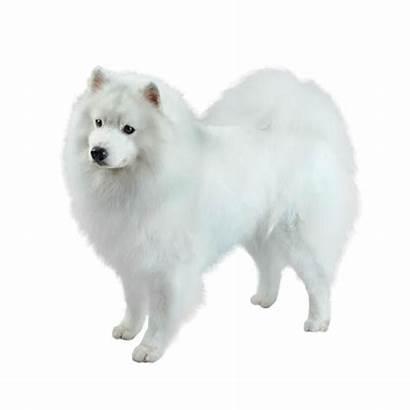 Dog Eskimo American Breeds Breed Purina Dogs