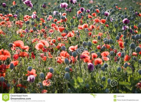 poppy bloom time poppy bloom royalty free stock photos image 10413468