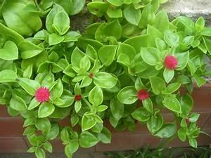 Gallery of piante cascanti perenni siepi da giardino in vaso siepe Fiori Cascanti Crescita