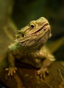 30 best images about Bearded Dragons on Pinterest | Baby ...