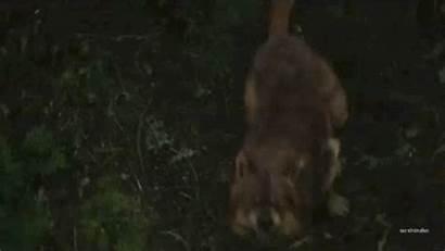 Wolf Twilight Dawn Breaking Gifs Pups Animal