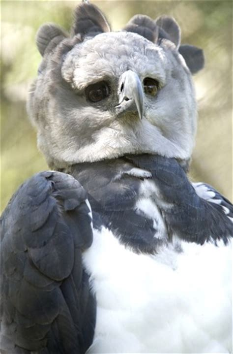 harpy eagle harpia harpyja  animals
