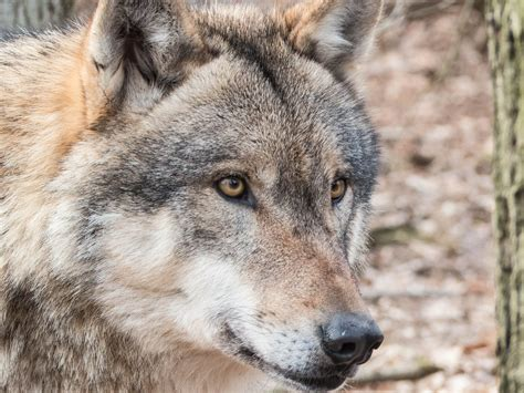 photo gratuite loup sauvages carnivores image