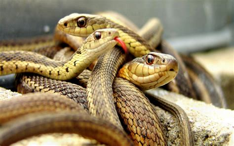 serpents, Snakes, Brown Wallpapers HD / Desktop and Mobile ...