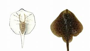 This Artificial Stingray Has A Gold Skeleton And Light
