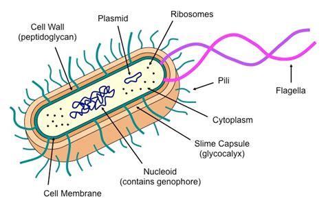 Prokaryotic Cells Bioninja