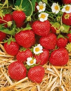 Plant De Fraise : fraisier mara des bois remontant potager ~ Premium-room.com Idées de Décoration