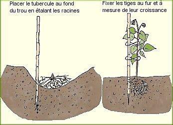 cuisiner les tripoux planter des dahlias galerie photos d 39 article 1 1
