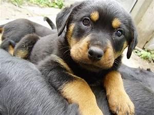 Rottweiler Shepherd Mix Puppy | www.pixshark.com - Images ...