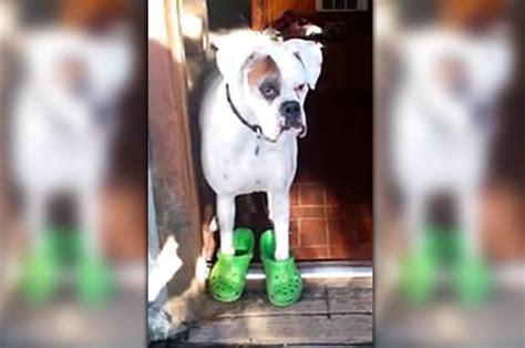 Owner Teaches Her Sassy Boxer Dog To Strut Around In Fancy