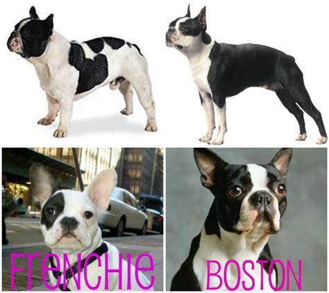 Tudo Sobre A Raca Boston Terrier Tudo Sobre Cachorros