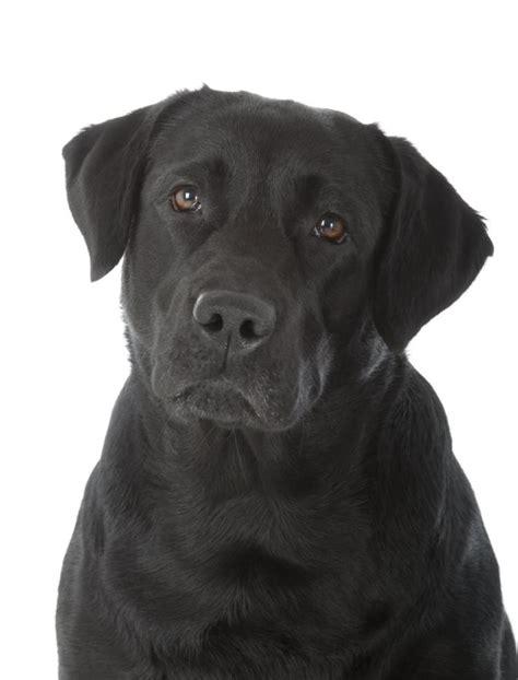 labrador retrievers  americas top dog ny daily news