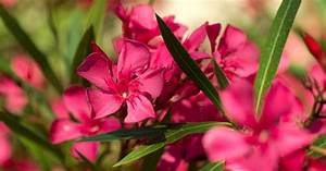 Oleander Care  Tips For Growing Oleander Bushes And Trees