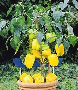 Paprika Pflanzen Pflege : veredelte gelbe snack paprika paprika bei baldur garten ~ Markanthonyermac.com Haus und Dekorationen