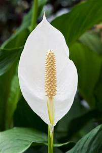 Peace Lily Plant (Spathiphyllum) Guide | Our House Plants