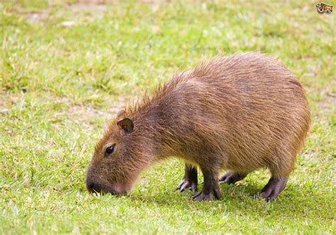 capybara pet can you keep a capybara as a pet pets4homes