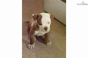 American Bulldog puppy for sale near Indianapolis, Indiana ...