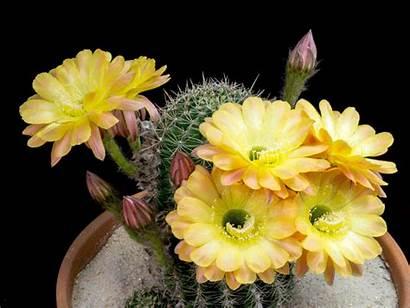 Flowers Cactus Echinopsis Daydream Blooms Explosive Ten