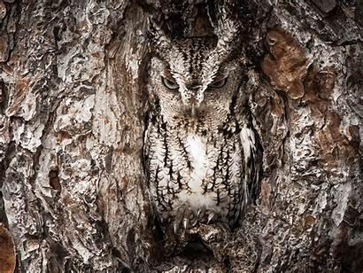 Camouflage Owl Animals Trees Birds Backgrounds Nature