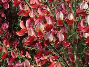 Ginster Richtig Schneiden : edelginster 39 roter favorit 39 cytisus scoparius 39 roter ~ Lizthompson.info Haus und Dekorationen