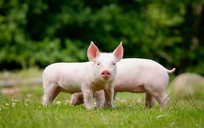 Pig Wallpapers Pigs Animals Domestic Farm Desktop