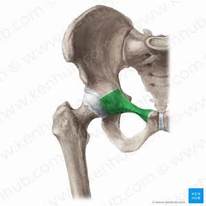Iliopsoas Muscle  Anatomy  Function  Supply  Innervation