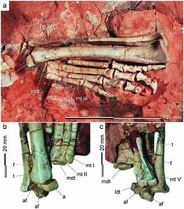 Ankle Of The Holotype Of Buriolestes Schultzi  Ulbra