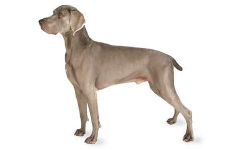Weimaraner Dog Breed Information, Pictures
