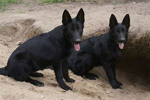 Solid Black German Shepherd Puppies for sale http ...
