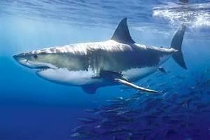 Gran tiburón blanco Pósters en AllPosters es