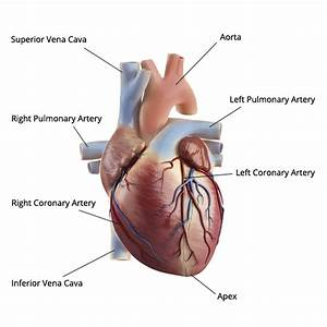 Anatomical Diagrams Of Heart
