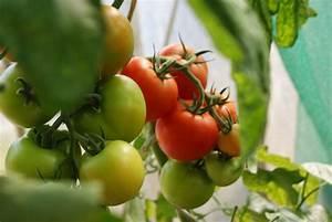 Alpenveilchen Gießen Wie Oft : tomaten richtig gie en wie oft und wie viel garta ~ A.2002-acura-tl-radio.info Haus und Dekorationen
