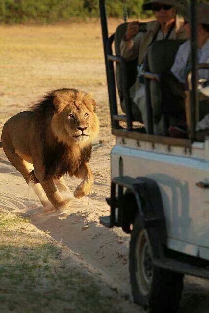 lion chasing defender land roverstop  give