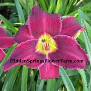 foto de WAYSIDE KING ROYAL DAYLILY Sold Out