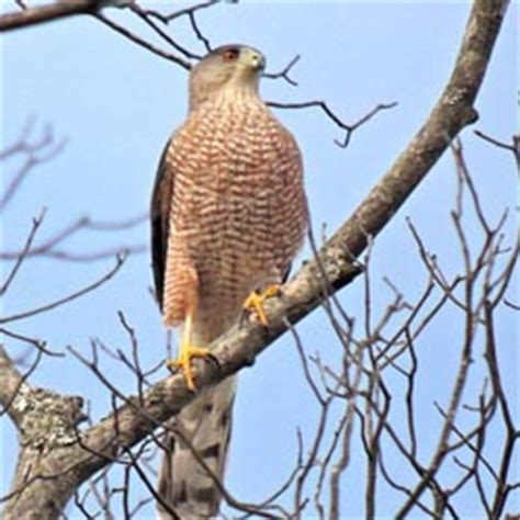 tennessee watchable wildlife cooper s hawk vs sharp