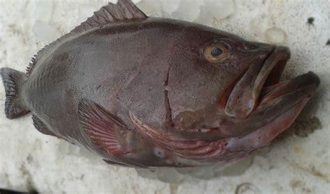 grouper fish fresh plain chilled eat market why